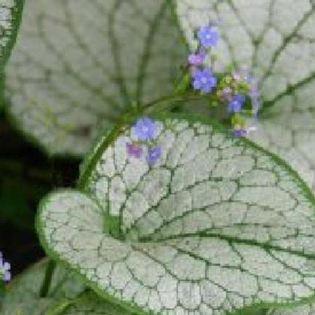 Brunnera macrophylla 'Silver Spear'