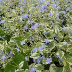 Brunnera macrophylla  'Variegata' - Kaukasische vergeet-mij-nietje - Brunnera macrophylla  'Variegata'