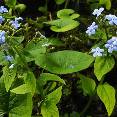 Brunnera sibirica - Kaukasisch vergeet-mij-nietje - Brunnera sibirica