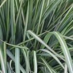 Calamagrostis x acutiflora 'Avalanche' - Struisriet - Calamagrostis x acutiflora 'Avalanche'