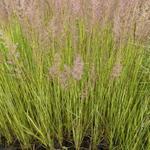 Calamagrostis x acutiflora 'England' - Struisriet - Calamagrostis x acutiflora 'England'