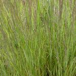 Calamagrostis x acutiflora 'Overdam' - Bont struisriet - Calamagrostis x acutiflora 'Overdam'