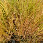 Calamagrostis arundinacea - Bosstruisriet  - Calamagrostis arundinacea