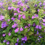 Calamintha grandiflora - Bergsteentijm - Calamintha grandiflora