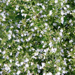 Calamintha nepeta 'White Cloud' - Steentijm
