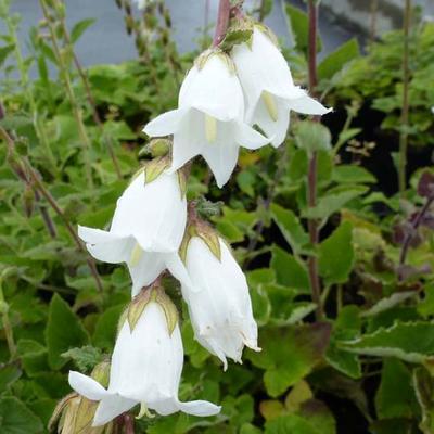 Campanula alliariifolia -