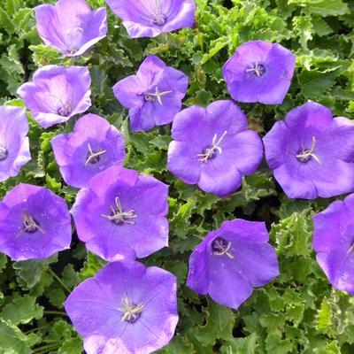 Campanula carpatica 'Blaue Clips' - Karpatenklokje - Campanula carpatica 'Blaue Clips'