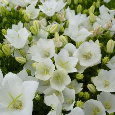 Campanula carpatica 'Weisse Clips' - Karpatenklokje - Campanula carpatica 'Weisse Clips'