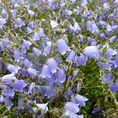 Campanula cochleariifolia -