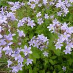 Klokjesbloem - Campanula lactiflora 'Prichard's Variety'