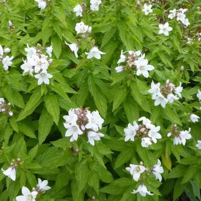 Campanula lactiflora 'White Pouffe' -