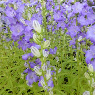 Campanula persicifolia 'Highcliffe' -