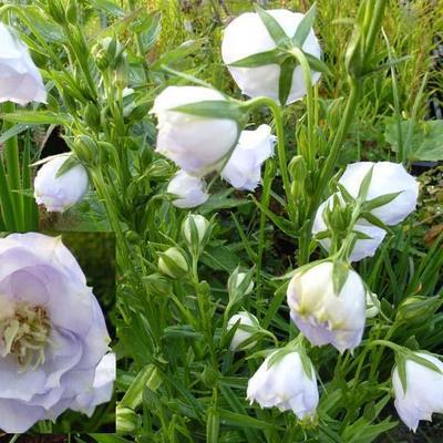 Campanula persicifolia 'La Bello' -