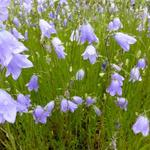 Campanula rotundifolia - Grasklokje - Campanula rotundifolia