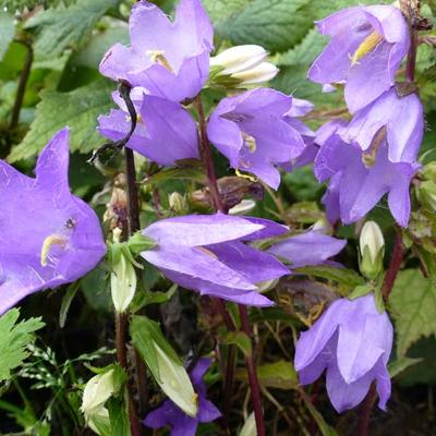 Campanula trachelium -