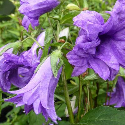 Campanula trachelium 'Bernice' -