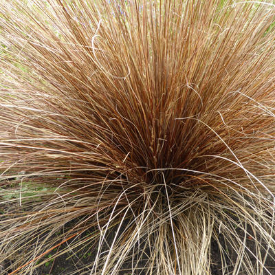 Carex buchananii - Zegge - Carex buchananii