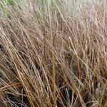 Carex buchananii 'Frank's Hair' - Zegge