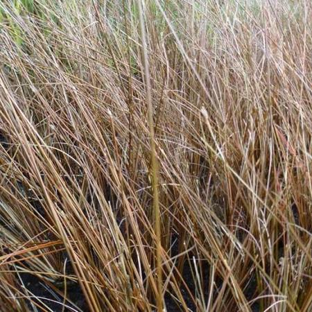 Carex buchananii 'Frank's Hair'