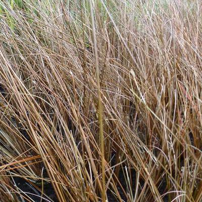 Carex buchananii 'Frank's Hair' -