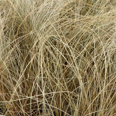 Carex comans 'Little Red' -