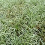 Zegge - Carex conica 'Snowline'