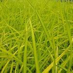 Carex elata 'Aurea' - Zegge - Carex elata 'Aurea'