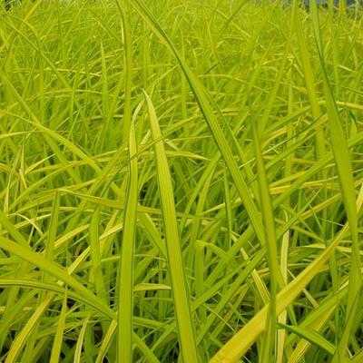 Carex elata 'Aurea' -
