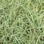 Carex flacca 'Blue Zinger' - Zegge - Carex flacca 'Blue Zinger'