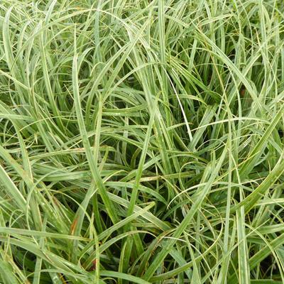 Carex flacca 'Buis' -