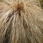Carex flagellifera - Carex flagellifera - Zegge