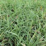 Carex flava - Gele zegge - Carex flava