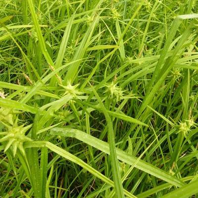 Carex grayi - Zegge - Carex grayi