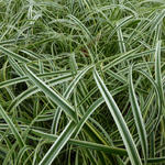 Carex 'Feather Falls' - Zegge