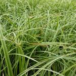 Carex 'Silver Sceptre' - Carex 'Silver Sceptre' - Zegge