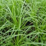 Carex montana - Bergzegge - Carex montana