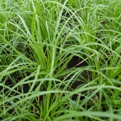 Carex montana -