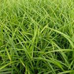 Carex morrowii - Zegge - Carex morrowii