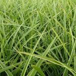 Carex morrowii 'Gilt' - Zegge - Carex morrowii 'Gilt'