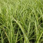 Carex morrowii 'Goldband' - Zegge - Carex morrowii 'Goldband'