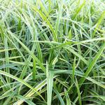 Carex morrowii 'Ice Dance' - Zegge - Carex morrowii 'Ice Dance'
