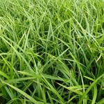 Zegge - Carex foliosissima 'Irish Green'