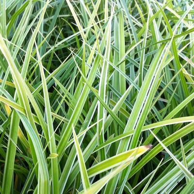 Carex morrowii 'Variegata' - Zegge - Carex morrowii 'Variegata'