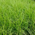 Carex muskingumensis - Zegge - Carex muskingumensis