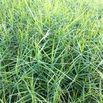 Carex muskingumensis 'Little Midge' - Palmbladzegge - Carex muskingumensis 'Little Midge'