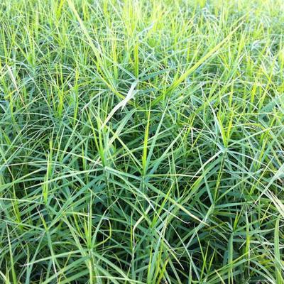 Carex muskingumensis 'Little Midge' -