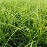 Carex muskingumensis 'Silberstreif' - Zegge - Carex muskingumensis 'Silberstreif'