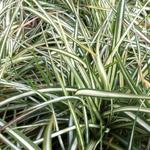 Carex ornithopoda 'Variegata' - Zegge, Vogelzegge - Carex ornithopoda 'Variegata'