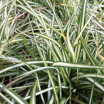 Carex ornithopoda 'Variegata' -