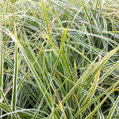 Carex oshimensis 'Everest' - Zegge - Carex oshimensis 'Everest'